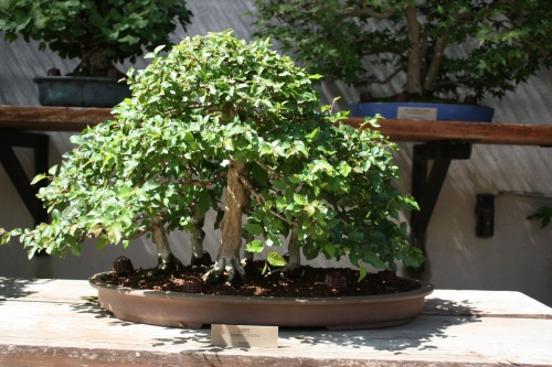 Bonsai Carpe - Carpinus Turczananovii - Fran Rives