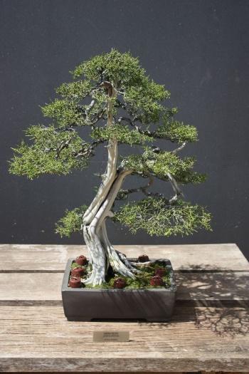 Bonsai Sabina Negra - Juniperus phoenicea - Fran Rives