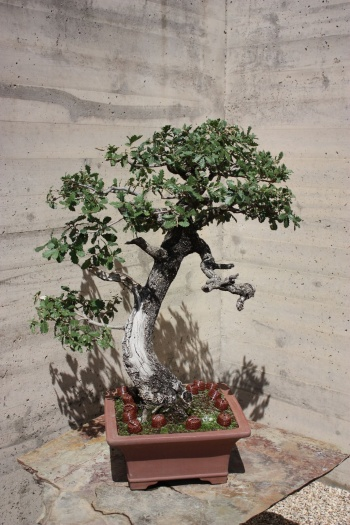 Bonsai 1231 - Fran Rives