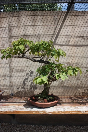 Bonsai 1243 - Fran Rives