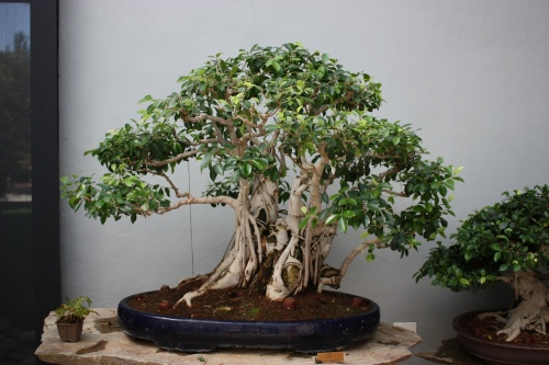 Bonsai Ficus - Bonsai Alcobendas - Fran Rives