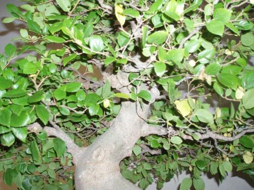 Bonsai Celtis Sinensis - Assoc. Bonsai Muro
