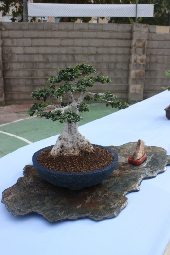 Bonsai Olea Europaea - Acebuche - Assoc. Bonsai Cocentaina