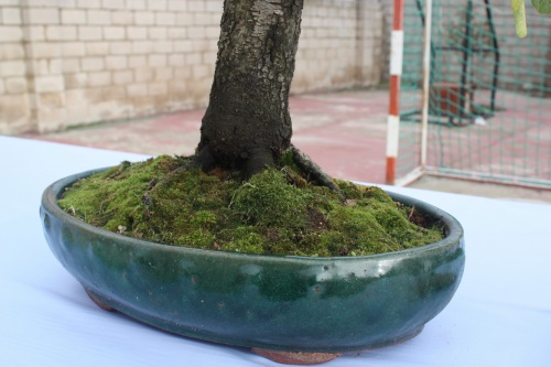 Bonsai Nebari Ciruelo - Prunus - Assoc. Bonsai Cocentaina