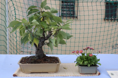 Bonsai Prunus Mume - Albercoquer - Assoc. Bonsai Cocentaina