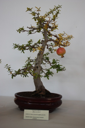 Bonsai Punica Granatum Negikan - Erasmo Garcia - Murciano