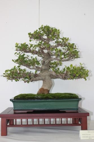Bonsai Ficus Retusa - Bonsai Alhama Murcia - Murciano