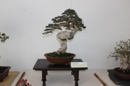Bonsai Olea Europaea Sylvestris Erasmo Garcia - Murciano