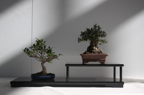 Bonsai Composición Bonsái - Olea Europaea y Ficus Macrophylla - Murciano