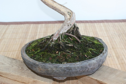 Bonsai Detalle del Nebari - Erasmo - Murciano
