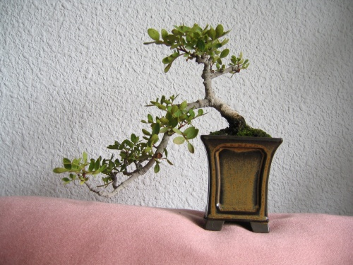 Bonsai Lentisco - Pistacia lentiscus - josegoderi