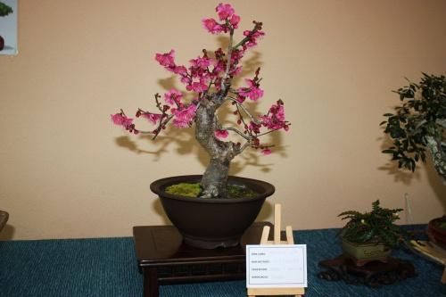 Bonsai Prunus en Flor - Assoc. Bonsai Muro