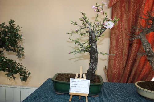 Prunus bonsái