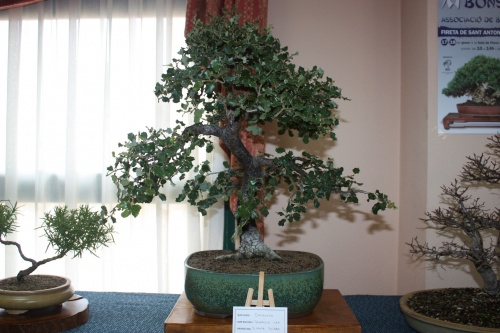 Bonsai  Carrasca - Vicente Solbes - Assoc. Bonsai Muro
