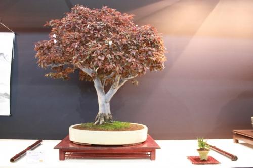 Bonsai Prunus Pisardii - Juan Ortega Soler - EBA Lorca