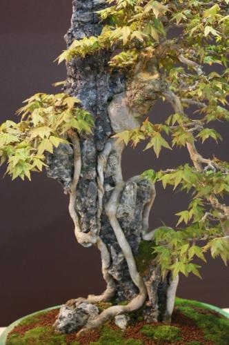 Bonsai Arce - Acer Burgerianum - EBA Lorca
