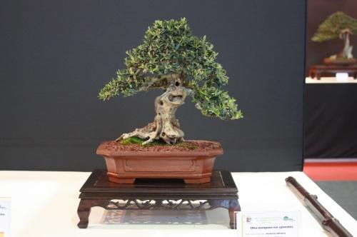 Bonsai Olea Europaea Sylvestris - Pascual Casino - EBA Lorca