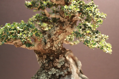 Bonsai Detalles bonsai German Gomez - EBA Lorca