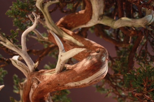 Bonsai Detalles Sabina Rastrera - Juniperus - EBA Lorca