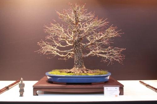 Bonsai Acer Palmatum - Jose Revert Sanz - EBA Lorca
