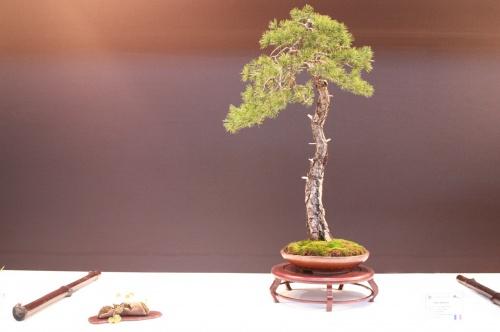 Bonsai Pinus Sylvestris - Joel Castelbou - EBA Lorca