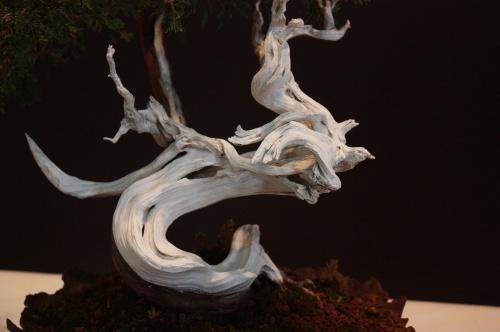 Bonsai Juniperus Sabina - Antonio Palop Valles - EBA Lorca