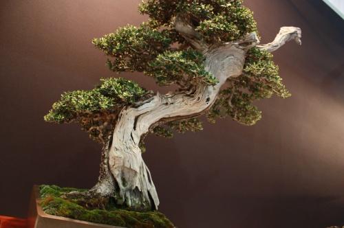 Bonsai Olea Europaea - Erasmo Garcia - EBA Lorca