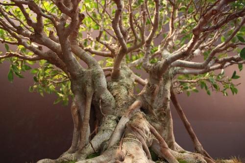 Bonsai Ramas Ficus Retusa - Salvador de los Reyes - EBA Lorca