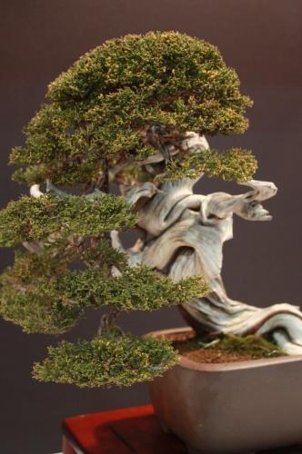 Bonsai Juniperus Sabina - Xavier Massanet - EBA Lorca