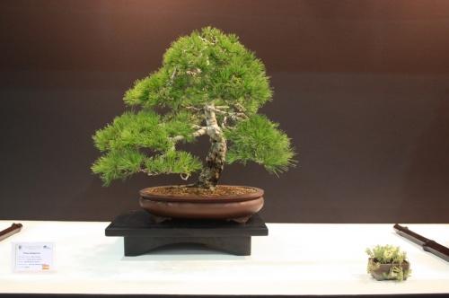 Bonsai Pinus Halepensis - Joan Borras - EBA Lorca