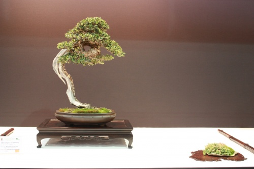Bonsai 1851 - EBA Lorca