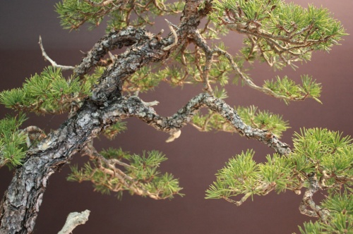Bonsai Pinus Sylvestris - Pino Albar - David Benavente - EBA Lorca