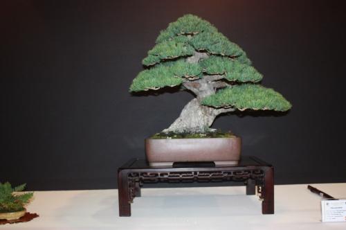 Bonsai Pinus Parvifolia - José Luis Blasco Paz - EBA Lorca