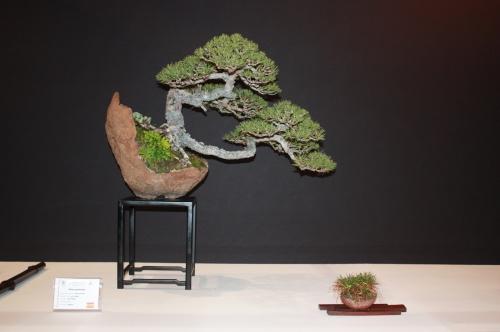 Bonsai Pinus Sylvestris - Luis Vallejo - EBA Lorca