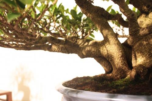 Bonsai Ficus Retusa - Ramas - CBALICANTE