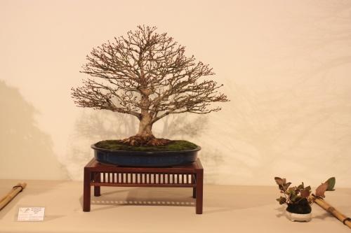 Bonsai Acer Palmatum Kashima - CBALICANTE