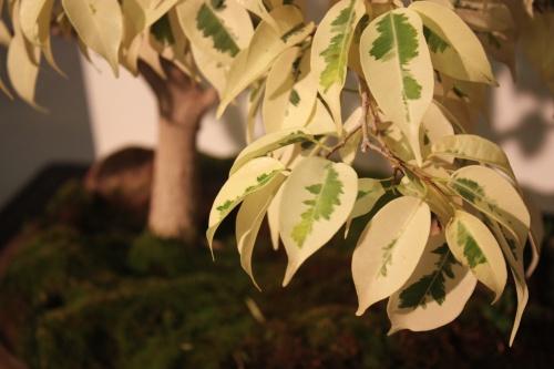 Bonsai Hojas de Ficus Benajamina Variegata - CBALICANTE