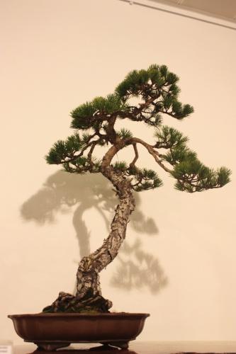 Bonsai Pino Parviflora - CBALICANTE