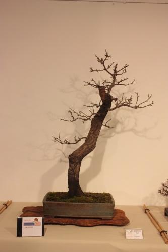 Bonsai Almendro - Prunus Amygdalus - CBALICANTE