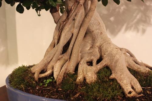 Bonsai Ficus Microcarpa - Detalle Tronco - CBALICANTE