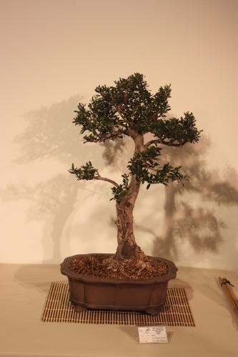 Bonsai Olea Europaea Sylvestris - CBALICANTE