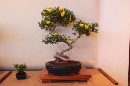 Bonsai Jasminum Fruticans - Jasmi Groc - Assoc. Bonsai Muro