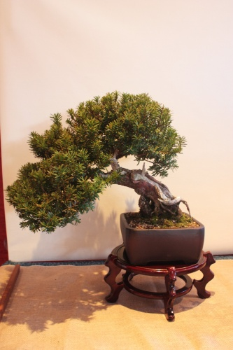Bonsai Taxus Bacata - Assoc. Bonsai Muro