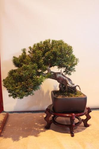 Bonsai Taxus Bacata - Assoc. Bonsai Muro