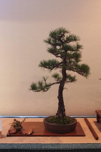 Bonsai Pinus Pentaphila - Assoc. Bonsai Muro