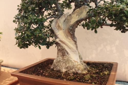 Bonsai Detalle tronco de olivera - Assoc. Bonsai Muro