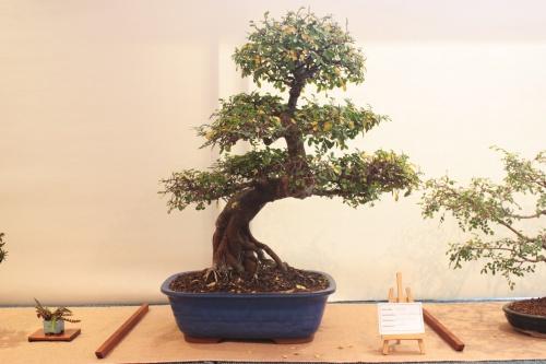 Bonsai Ulmus Parvifolia - Assoc. Bonsai Muro