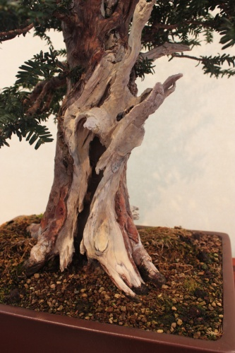 Bonsai Detalle tronco hueco - Assoc. Bonsai Muro