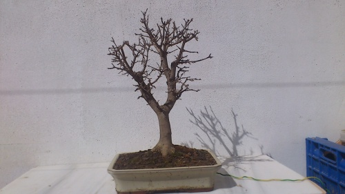 Bonsai arce tridente - javel