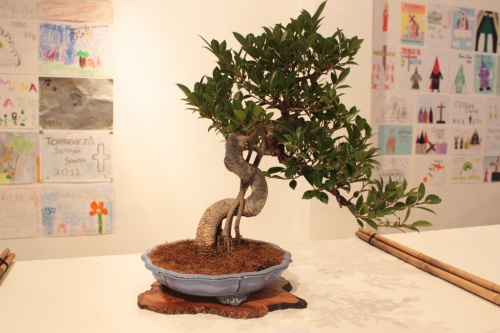 Bonsai Ficus - Club Bonsai Oriol - torrevejense